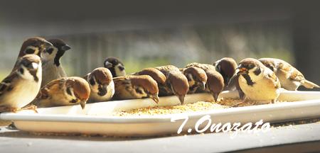 スズメの食事風景