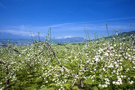 リンゴの花畑.jpg